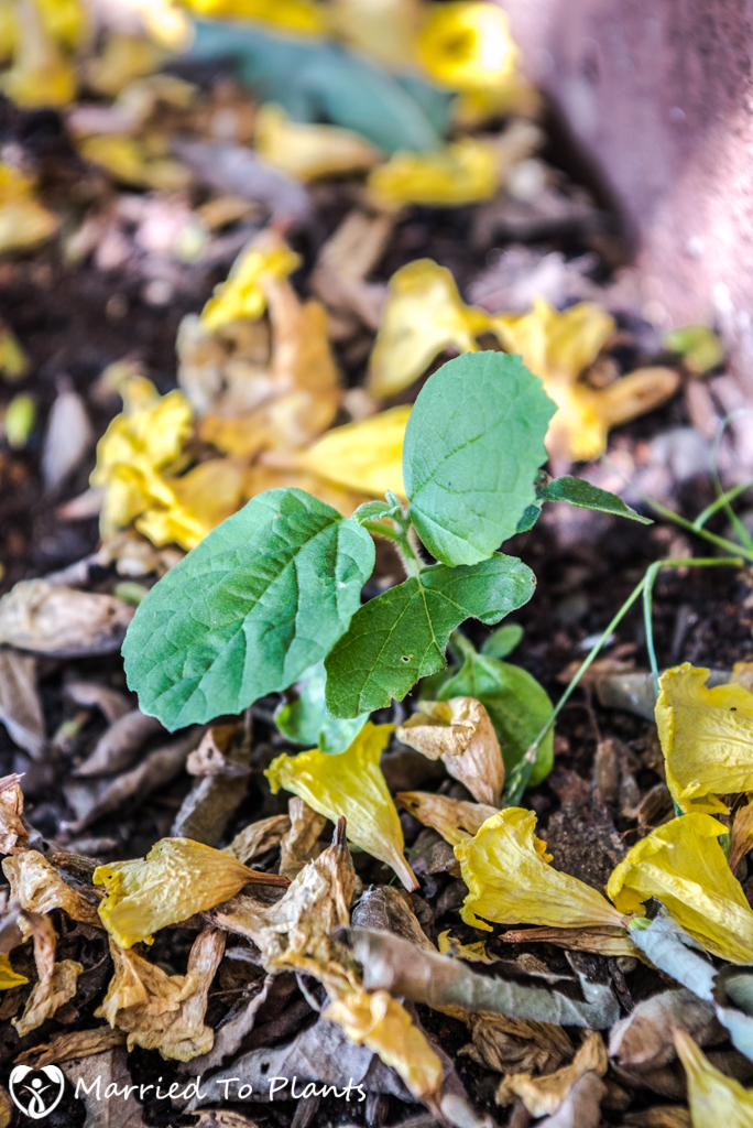 Cordia lutea (Yellow Geiger Tree) - Seedling