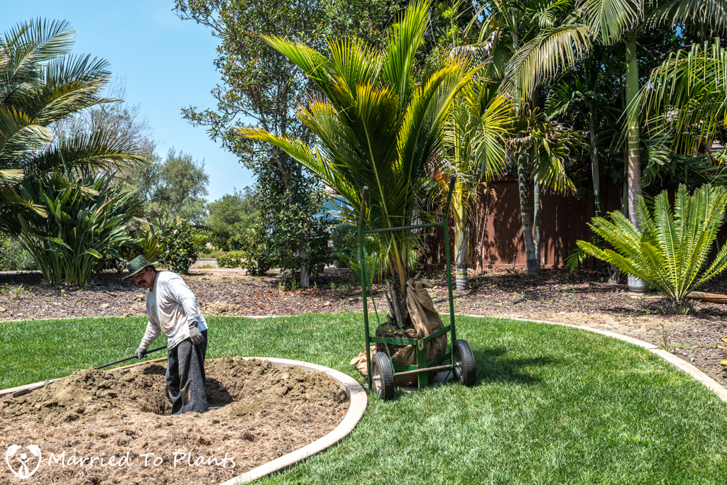 Planter Bed Preparation - Beccariophoenix madagascariensis