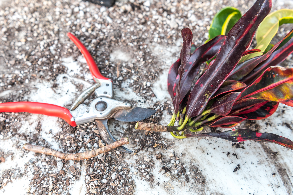 Croton Propagation - Stem Cutting
