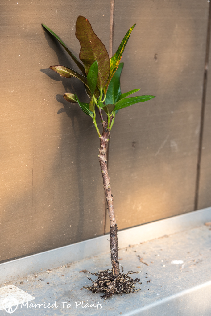 Croton Propagation - Stem Cutting New Leaves and Roots