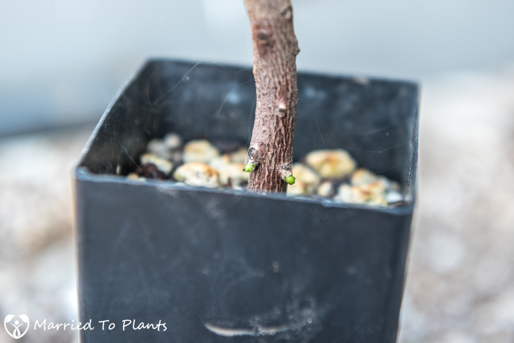 Croton Propagation - Stem Cutting New Buds