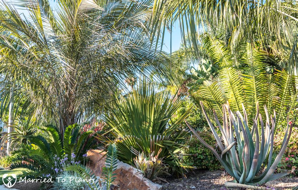 Geiger Garden - Aloe suzannae and Copernicia rigida