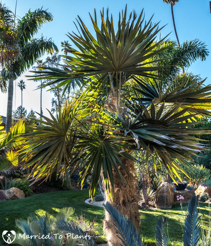 Geiger Garden - Coccothrinax crinita