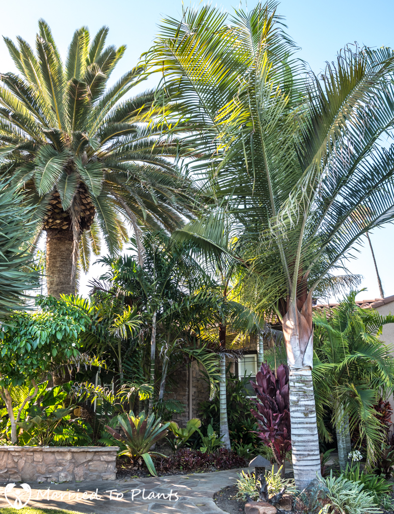 Geiger Garden - Dypsis leptocheilos x decaryi Front Yard