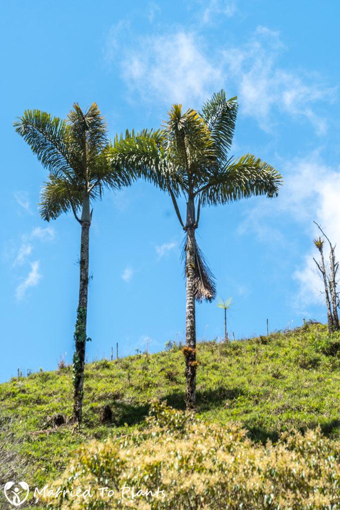 Dictyocaryum lamarckianum Deforestation