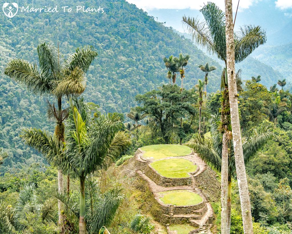 Palm Tree Spotlight: Dictyocaryum lamarckianum