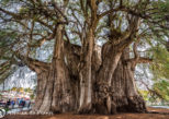 The Widest Tree Trunk in the World: Arbol del Tule